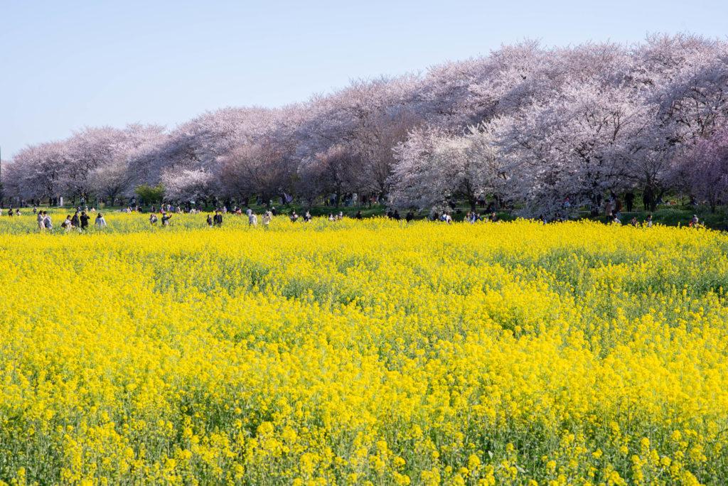 上庄かふぇ-桜